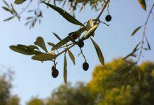 Receta. Paté de olivas
